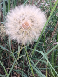 I'm not sure what this is but in my eyes it was a giant dune dandelion. It was a little bigger than my fist.